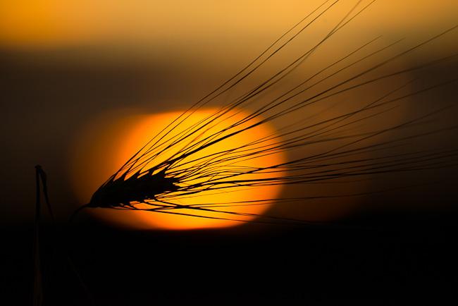 Halm tegen ondergaande zon